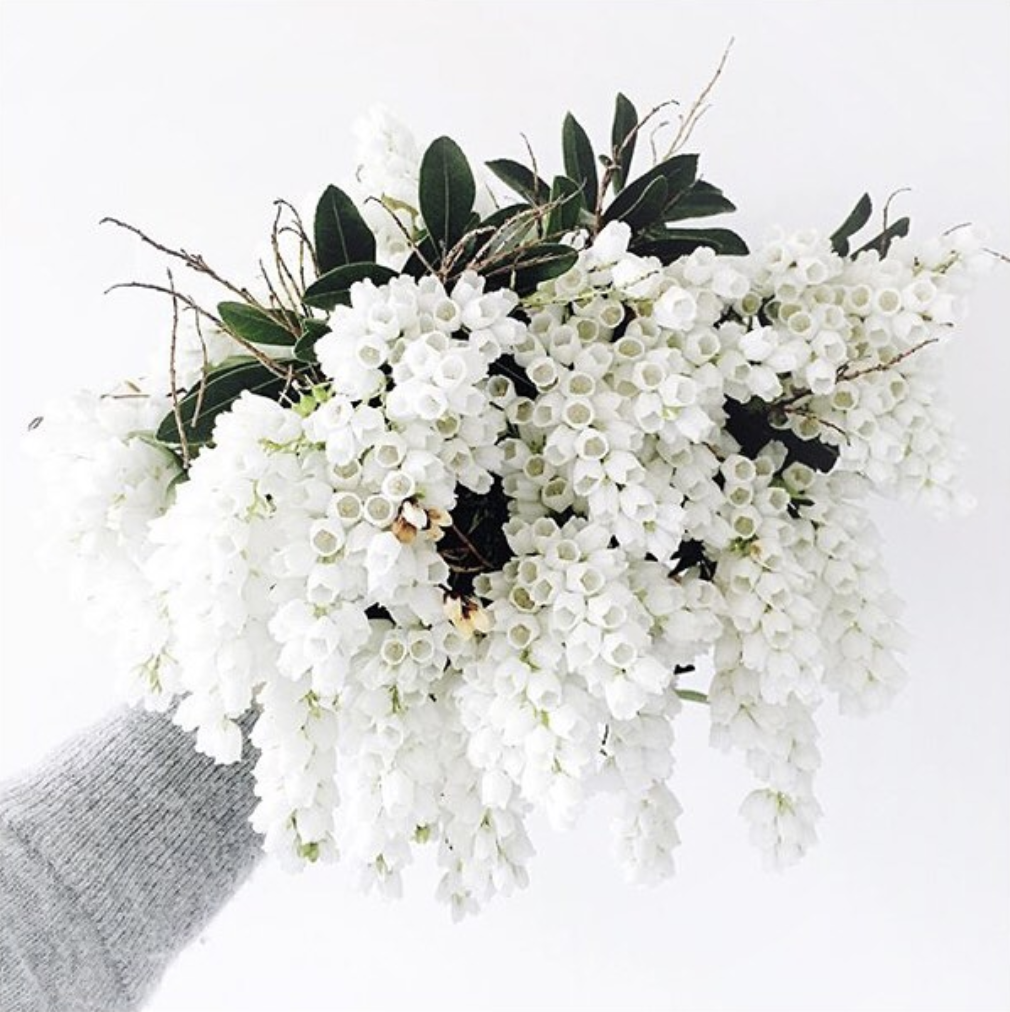Pieris, flowering, bridal, bouquet, season, guide, wedding, planning, bride, floral, flowers, seasonal, nz, auckland