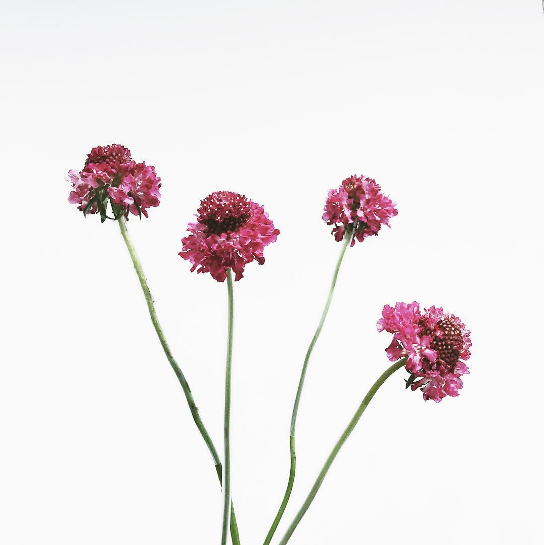 scabiosa, bridal, bouquet, season, guide, wedding, planning, bride, floral, flowers, seasonal