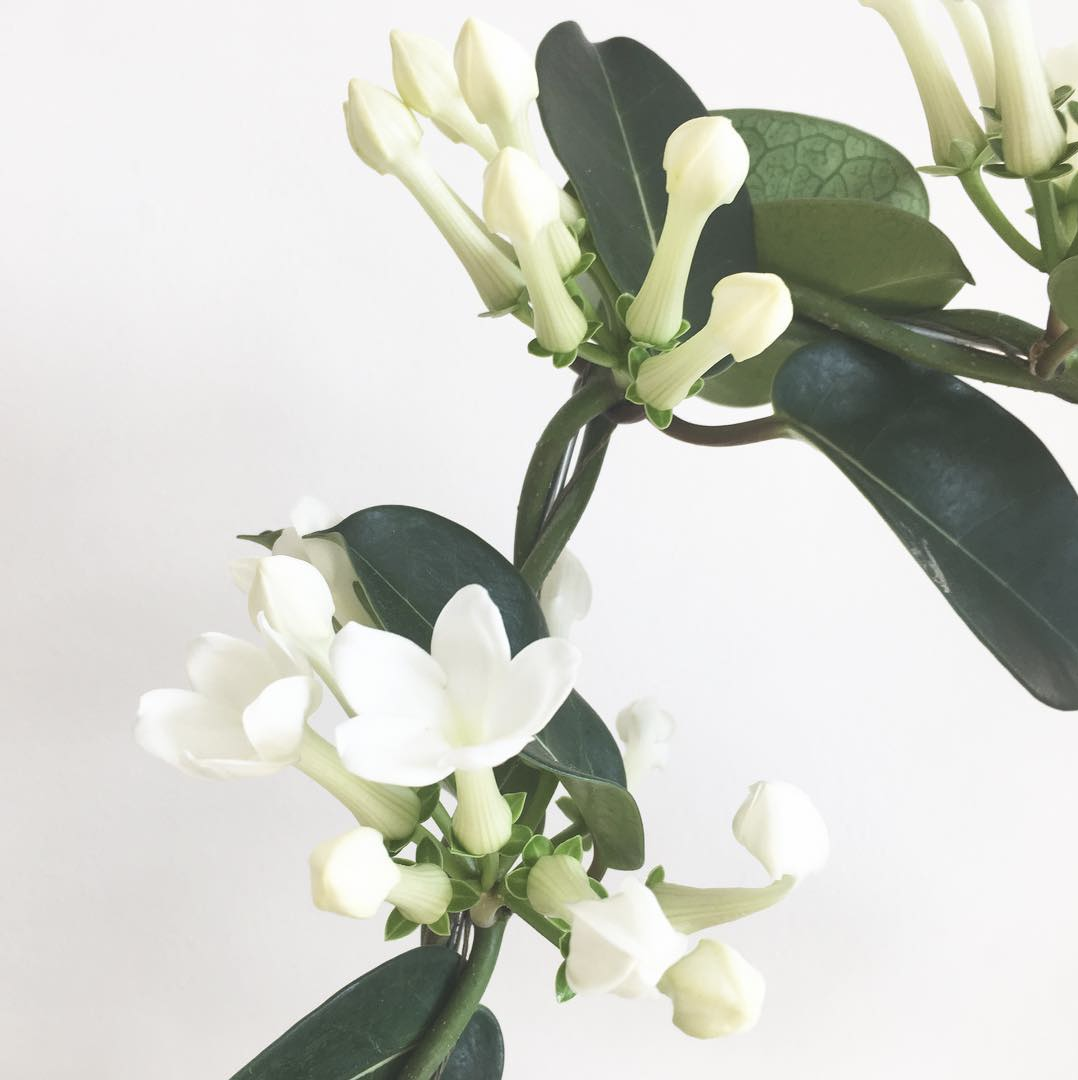 stephanotis, bridal, bouquet, season, guide, wedding, planning, bride, floral, flowers, seasonal, nz, auckland
